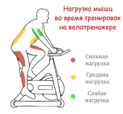 Работа мышц при тренировках на велотренажере